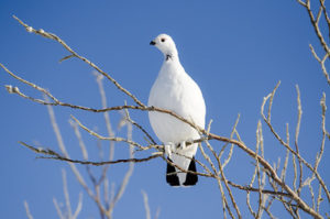 Photograph of a white ptarmigan on a branch